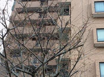 温泉桜.jpg